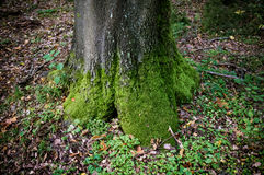 Mossy tree trunk Royalty Free Stock Images