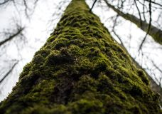 Mossy tree trunk in the damp forest. A mossy tree trunk looms over as the overcast sky casts even light throughout the damp forest Royalty Free Stock Photo
