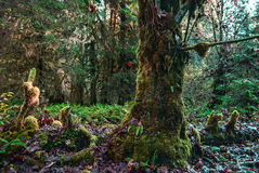 Mossy Tree Trunk. A moss covered tree in a happy little grove stock image