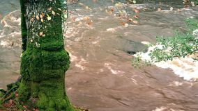 Mossy Tree Trunk By River. Moss covered tree trunk by river stock footage