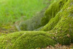 Mossy tree trunk stock photography