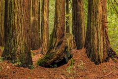 Mossy tree trunks of sequoias the Redwoods Forest in California Stock Image