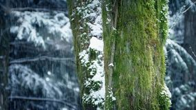 Mossy Tree Trunks With Snow Falling. Green mossy tree trunk in the forest in heavy snowfall stock footage