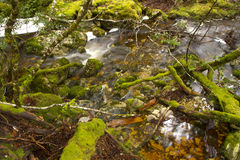 Mossy trees and creek. Marion's Lookout Bushwalk, The Overland Track, Cradle Mountain-Lake St Clair National Park, Tasmania, Australia Stock Photography