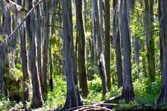 mossy trees för cederträ Royaltyfri Foto