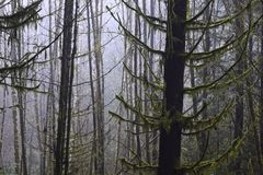 Mossy trees. Moss-covered douglas fir trees Royalty Free Stock Image