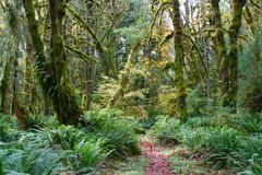 Mossy trees in olympic national park Royalty Free Stock Photography
