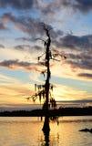 Mossy treesolnedgång Arkivfoto