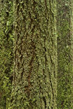 mossy treestammar Arkivbild