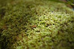 Mossy trunk fallen in the forest. Lighted from a ray of sun, close up royalty free stock photos