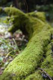 Mossy trunk fallen in the forest. Lighted from a ray of sun, close up stock photo