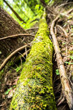 Mossy trunk Royalty Free Stock Image