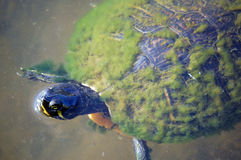 Mossy turtle Royalty Free Stock Images