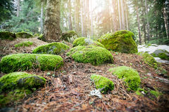 Mossy undergrowth in mountain forest Stock Images