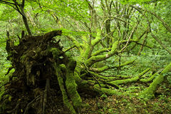 Mossy Uprooted Tree Royalty Free Stock Images