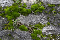 Mossy wall. Stock Images