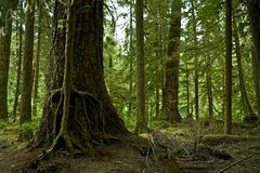Mossy Washington Rainforest Royalty Free Stock Photography