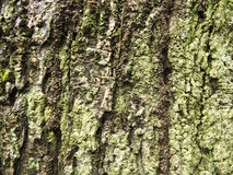 Mossy wood bark texture with cracks. Raw wood board surface. Rustic lumber close-up photo. Oak tree trunk peel with noise and grit. Natural wooden bark Royalty Free Stock Image