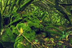 Mossy wood in Ireland. Mossy green wood in Ireland stock images