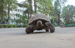 Most African tortoise. In the streets of Addis Ababa Stock Photos