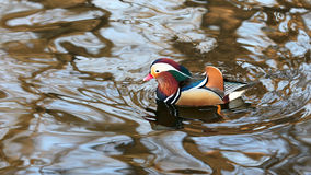 The most beatiful mandarin duck. These kind of duck present the lovers.It is a beatiful bird in china.there are many beatiful tale of these birds Stock Image