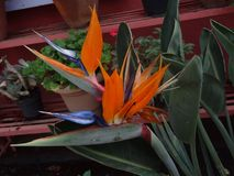 Bird of Paradise flowers. The most beautiful of all exotic stock images