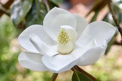 Most Beautiful Bloom Today. White -Magnolia Bloom Royalty Free Stock Image