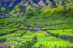 The most beautiful landscape at tea plantation in Malaysia. During the holiday Royalty Free Stock Image