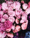 Peonies in bloom stock image