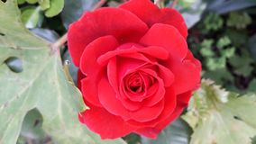 He most beautiful red May Rose inthe garden stock images