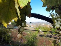 The most beautiful view through the vineyard royalty free stock photography