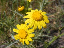 The most beautiful yellow daisy pictures for advertisement and logo construction Stock Photos