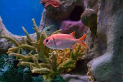 Bigeye fish in aquarium stock photo