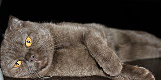 The most chocolate kitty in the world stock images