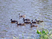 Duck large family on the pond. This is the most common breed of wild duck. Ducks have a brown color. This feathering allows it to hide well in reeds and high royalty free stock photo