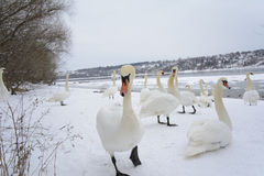 The most curious swan. Selective focus. A bevy of swans. One among them stands out. Naked branches of the tree top, frozen river and riverbanks covered with stock image