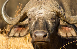 The most dangerous. The African Buffalo is considered among the most dangerous animals of Africa for the accidents it has caused Stock Images