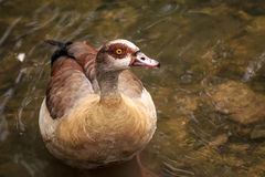The most famous and common wild duck Royalty Free Stock Image