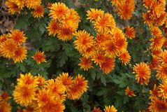 Autumn fire chrysanthemums for the whole photo stock images