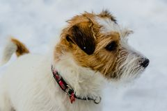 The most gay smiling dog in the world. Jack Russell Terrier, emotions and joy. stock photography