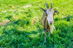 Most goat with long horns grazing Royalty Free Stock Image