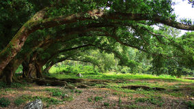 Most large  banyan Stock Photo