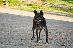 Most mongrel dog black color. Stock Photos