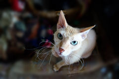 The most moustached of all cats. Orange sphynx cat sitting and staring Stock Photo