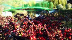 most nad rzeką Jaskrawy krzak z czerwonymi jagodami obraz stock
