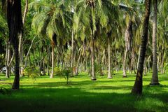 Palm tree forest on Isla Grande. Most palms are native to tropical and subtropical climates. Palms thrive in moist and hot climates but can be found in a variety royalty free stock photo