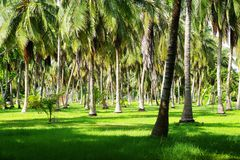 Palm tree forest on Isla Grande. Most palms are native to tropical and subtropical climates. Palms thrive in moist and hot climates but can be found in a variety royalty free stock images