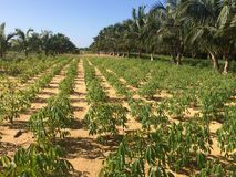 Sri Lankan Cassava field in kalpitiya the great food in the earth. Most of people use to be growe this plant because it very easy to plantation. harvesting royalty free stock photo