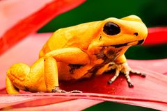 Most poisonous poison dart frog Phyllobates terribilis. Most poisonous poison dart frog, Phyllobates terribilis. Macro of beautiful dartfrog and amphibian royalty free stock photography