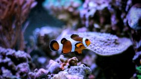 Most popular fish are more and more interesting to have and enjoy in them in our aquariums. Real nemo in coral reef aquarium tank royalty free stock image